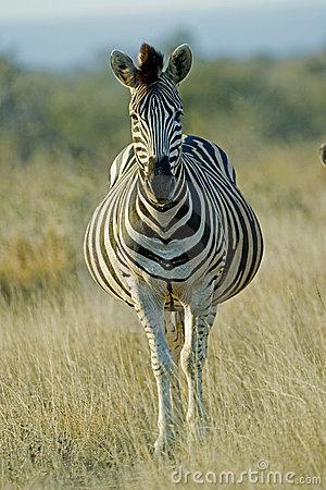 pregnant-zebra-16923492